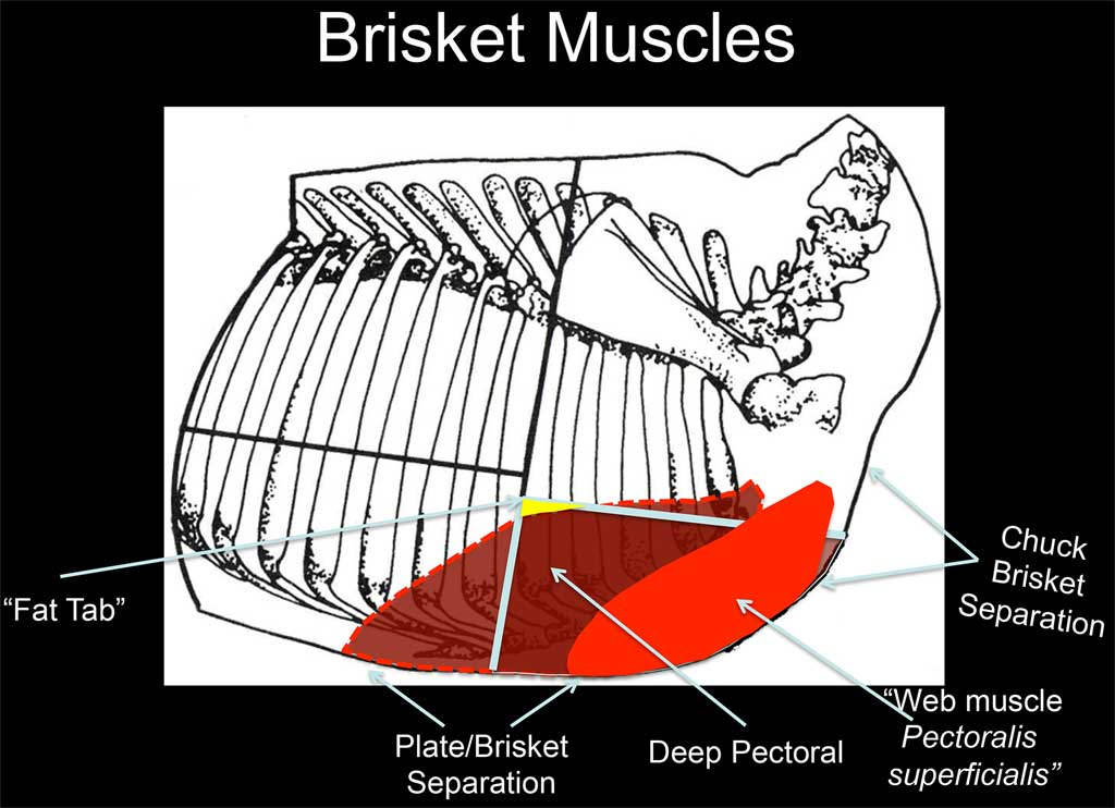 Brisket muscle diagram